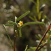 Pale Turpentine Bush - Photo (c) Wayne Martin, some rights reserved (CC BY-NC)