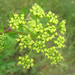 Texas Prairie Parsley - Photo (c) Chuck Sexton, some rights reserved (CC BY-NC)