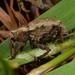 Hadramphus spinipennis - Photo (c) matt-walters, algunos derechos reservados (CC BY-NC-ND)