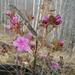 Rhododendron dauricum - Photo (c) Nina Filippova,  זכויות יוצרים חלקיות (CC BY)