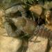 Austropotamobius torrentium - Photo (c) carnifex, osa oikeuksista pidätetään (CC BY)