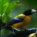 Tangara Barbinegra - Photo (c) David Cook Wildlife Photography, algunos derechos reservados (CC BY-NC)