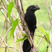 Smooth-billed Ani - Photo (c) Taran Rampersad, some rights reserved (CC BY-NC-SA)