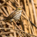 Savannah Sparrow - Photo (c) Steve Thompson, some rights reserved (CC BY-NC-SA)