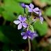 Phlox divaricata laphamii - Photo (c) Mark Kluge, μερικά δικαιώματα διατηρούνται (CC BY-NC-ND)