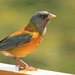 Patagonian Sierra-Finch - Photo (c) Nestor Galina, some rights reserved (CC BY)