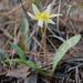 Erythronium multiscapideum - Photo (c) garyg, algunos derechos reservados (CC BY-NC-SA), uploaded by Gary Griffith