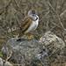 Agachona Chica - Photo (c) David Cook Wildlife Photography, algunos derechos reservados (CC BY-NC)