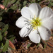 White-stem Evening-Primrose - Photo (c) Patrick Alexander, some rights reserved (CC BY-NC-ND)