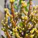 Korthalsella salicornioides - Photo no rights reserved