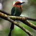 Broad-billed Motmot - Photo (c) David Cook Wildlife Photography, some rights reserved (CC BY-NC)