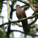 Ruddy Pigeon - Photo (c) Michael Woodruff, some rights reserved (CC BY-SA)