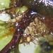 Rhizomnium magnifolium - Photo (c) fabelfroh,  זכויות יוצרים חלקיות (CC BY-NC-SA)