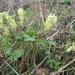 Corydalis bracteata - Photo (c) Nina Filippova,  זכויות יוצרים חלקיות (CC BY)