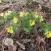 Viola uniflora - Photo (c) Nina Filippova, algunos derechos reservados (CC BY)