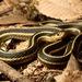 Thamnophis elegans elegans - Photo (c) Zach Lim, algunos derechos reservados (CC BY-NC)