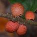 Kokkocynips imbricariae - Photo (c) james5, algunos derechos reservados (CC BY-NC-SA), uploaded by James Shelton
