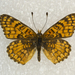 Neumoegen's Checkerspot - Photo (c) Robb Hannawacker, some rights reserved (CC BY-NC-SA)