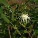 Passiflora misera - Photo (c) Valentín Almada, some rights reserved (CC BY-NC)