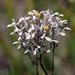 Lophiola aurea - Photo (c) Lauren, algunos derechos reservados (CC BY)