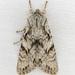 Egira simplex - Photo (c) Jim Johnson, μερικά δικαιώματα διατηρούνται (CC BY-NC-ND)