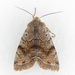 Orthosia hibisci - Photo (c) Jim Johnson, algunos derechos reservados (CC BY-NC-ND)