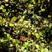 Coprosma spathulata - Photo no rights reserved