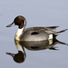 Northern Pintail - Photo (c) Rick Leche, some rights reserved (CC BY-NC)