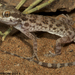Southern Tuberculated Gecko - Photo (c) Todd Pierson, some rights reserved (CC BY-NC-SA)