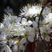 Prunus umbellata - Photo (c) mfeaver, μερικά δικαιώματα διατηρούνται (CC BY)