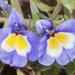 Downingia bella - Photo (c) Bill Bouton, algunos derechos reservados (CC BY-NC-ND)