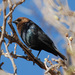 Brown-headed Cowbird - Photo (c) Jerry Oldenettel, some rights reserved (CC BY-NC-SA)