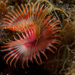 Star Feather Worm - Photo (c) Eric Burgers, some rights reserved (CC BY-NC)
