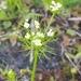 Ptilimnium capillaceum - Photo (c) leanns, algunos derechos reservados (CC BY-NC)