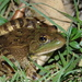 Montezuma Leopard Frog - Photo (c) Kevin Meza, some rights reserved (CC BY-NC)