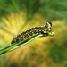 Diprion similis - Photo (c) Lisa Brown, algunos derechos reservados (CC BY-NC)