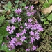 Rock Soapwort - Photo (c) Muriel Bendel, some rights reserved (CC BY-NC)