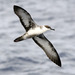 Shearwaters and Petrels - Photo (c) Patrick Coin, some rights reserved (CC BY-NC-SA)
