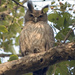 Dusky Eagle-Owl - Photo (c) Paul Asman and Jill Lenoble, some rights reserved (CC BY)