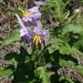 Solanum dimidiatum - Photo (c) Carlos D. Ross, algunos derechos reservados (CC BY-NC), uploaded by C Ross
