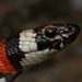Kingsnakes and Milk Snakes - Photo (c) Zach Lim, some rights reserved (CC BY-NC)