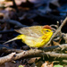 Yellow Palm Warbler - Photo (c) Ken Janes, some rights reserved (CC BY-SA)
