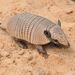 Six-banded Armadillo - Photo (c) Carolina Esteves, some rights reserved (CC BY-NC)