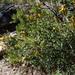 Tagetes pauciloba - Photo (c) Guillermo Debandi, μερικά δικαιώματα διατηρούνται (CC BY-NC)