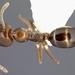 Linepithema iniquum - Photo (c) Alex Wild, algunos derechos reservados (CC BY)