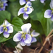 Confederate Violet - Photo (c) wanderingmogwai, some rights reserved (CC BY-NC)