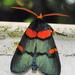 Egybolis vaillantina - Photo (c) Peter Vos, algunos derechos reservados (CC BY-NC)