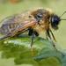 Trichiosoma - Photo (c) Nigel Jones, algunos derechos reservados (CC BY-NC-ND)
