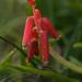 Lachenalia bulbifera - Photo (c) Donovan Kirkwood, algunos derechos reservados (CC BY-NC)