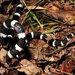Vermicella annulata - Photo (c) teejaybee, μερικά δικαιώματα διατηρούνται (CC BY-NC-ND)
